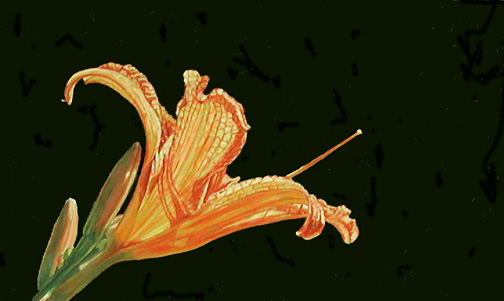Day Lily, Painting by Mary Baker