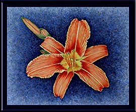 Day Lily © Mary Baker, painting