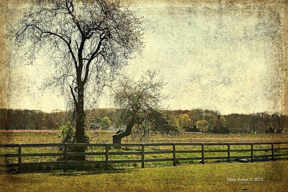 Apple Tree and Field © Mary Baker, digital image