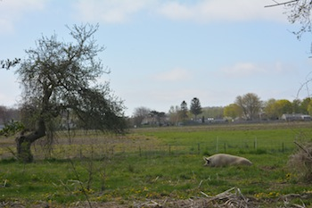 Pig and Apple Tree, the original image